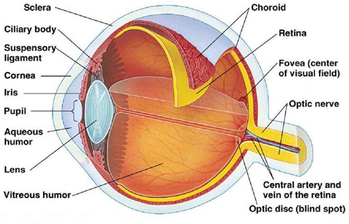 Anatomy of the eyeball